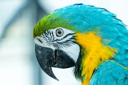 A close up of a blue-and-yellow macaw (Ara ararauna), also known as the blue-and-gold macaw bright vibrant parrot close up.