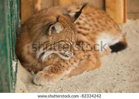 A close-up of a bobcat sleeping