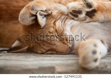 A close-up of a bobcat sleeping on wooden board