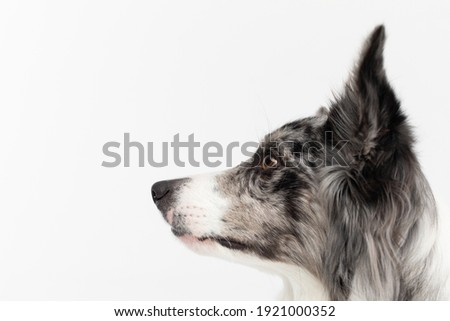 A close-up of a Border Collie dog's muzzle with erect ears against a white background. The dog is colored in shades of white and black and has long and delicate hair. An excellent herding dog. Stock fotó ©