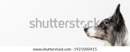 A close-up of a Border Collie dog's muzzle with erect ears against a white background. The dog is colored in shades of white and black and has long and delicate hair. An excellent herding dog Stock fotó ©