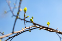 A close-up of a brown vine of a raspberry bush with blooming buds and sprouting green bright jagged leaves against a clear blue sky. Spring awakening of nature.