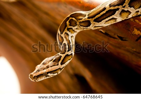 A close-up of a Burmese python slithering on a tree.