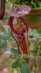 A close-up of a Carnivorous plants with a cone or funnel. Carnivorous pitcher plant in the Malaysian Cameron highlands. A carnivorous plant in the rainforest of malaysia