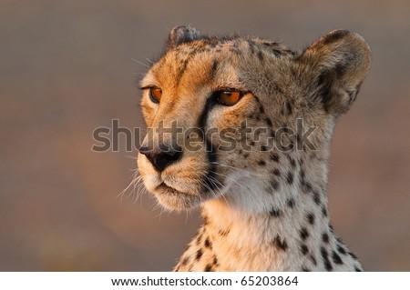 A close up of a cheetah's head