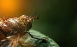 A close-up of a colorful abdomen. The flyfly family, common in Europe. Tachina fera Latin fly.