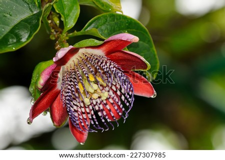 A close up of a colorful passion flower
