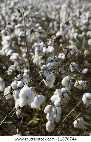 A close up of a cotton plant in the midst of a large field of cotton ready for harvest.