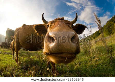 A close up of a cow's head. Shallow DOF with focus on the eyes.
