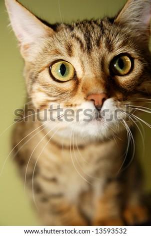 A close-up of a curious Bengali kitten.
