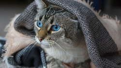 A close up of a cute Lynx-Point tabby Siamese cat with blue eyes under a blanket