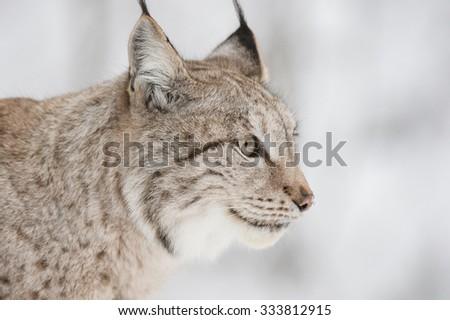 A close up of a Eurasian Lynx.