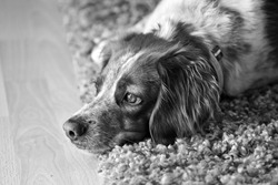 a close up of a female brittany spaniel in black and white