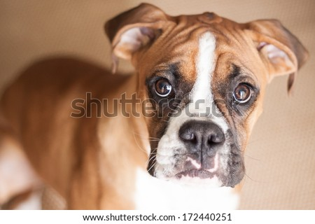 A close-up of a flashy fawn Boxer puppy looking right at you. #172440251