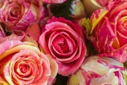 A close up of a flower. High quality photo. Two-tone roses, pink and yellow roses. Macro.
