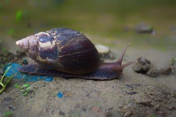 A close up of a giant African land snail achatina is slowly moving.