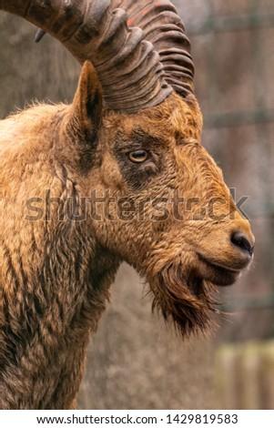a close up of a goat #1429819583