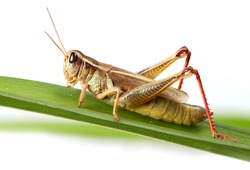 A close up of a grasshopper sitting on blade of grass