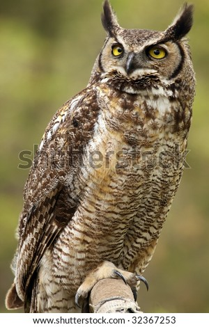 A close-up of a Great Horned Owl (Bubo virginianus) looking up