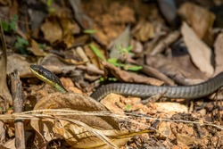 A Close Up of a Green Tree Snake on the Ground slithering between brown leaves.