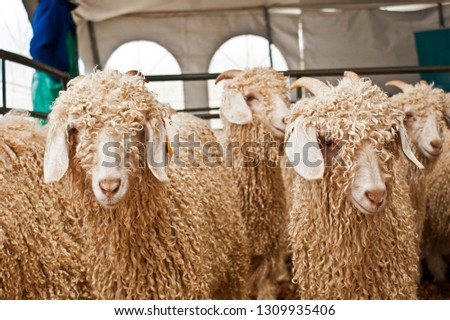 A close up of a group of mohair goats with long hair