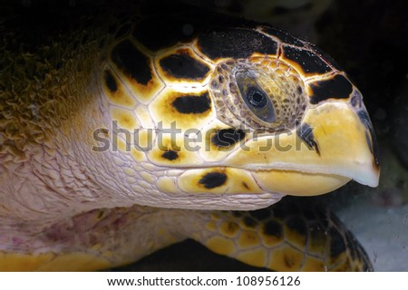 A close up of a hawksbill sea turtle