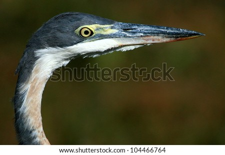 A close up of a heron head,beek and eyes. Very clear and focused. This side profile portrait was taken in Addo elephant national park, eastern cape,south africa