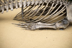 A close up of a large animal skeleton focusing on the ribs and back bone.