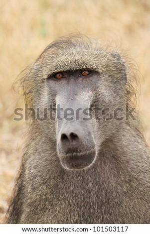A close up of a large male baboon's face
