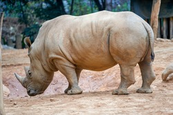 A close-up of a large rhino in the wild