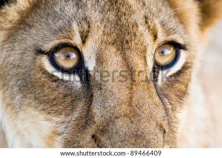A close up of a lion cub\'s eyes