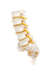 A close-up of a lumbar part of a spine preparation over white background