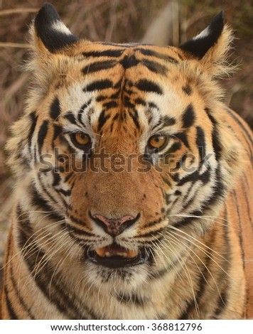 a close up of a male bengal tiger s face image captured during a