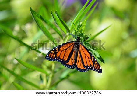 A close-up of a monarch butterfly on a swan plant. - stock photo