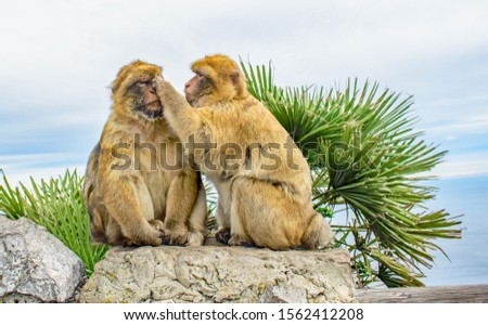 A close up of a pair of Gibraltar Barbary Apes the female closely grooming the male's face