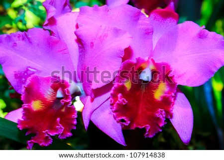 A close up of a pair of pink, magenta and purple rare Cattleya orchids
