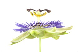 A close-up of a Passionflower isolated on a white background