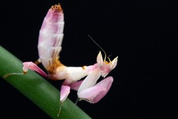 A close up of a praying mantis, a L3 instar Orchid mantis nymph, sitting on a chive stem