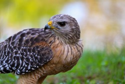 A close up of a red shouldered hawk.