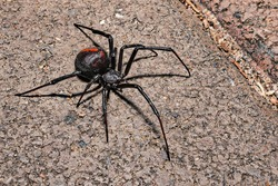 a close up of a redback spider on ground