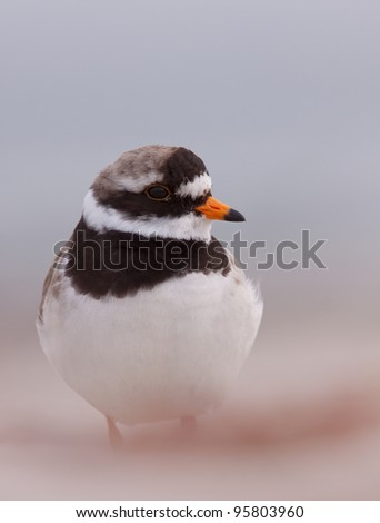 A close-up of a ringed plover