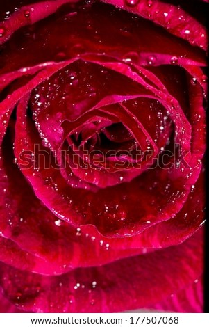 A close up of a rose with water drops on its petals.