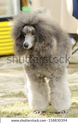 A close up of a small beautiful and adorable silver gray Miniature Poodle dog. Poodles are exceptionally intelligent usually equated to beauty, luxury and snobs.