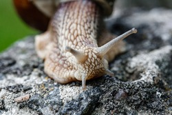 A close up of a snail walking on old stone in wildlife.