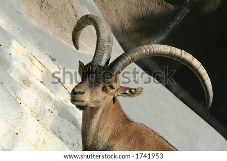 A close-up of a Spanish Ibex