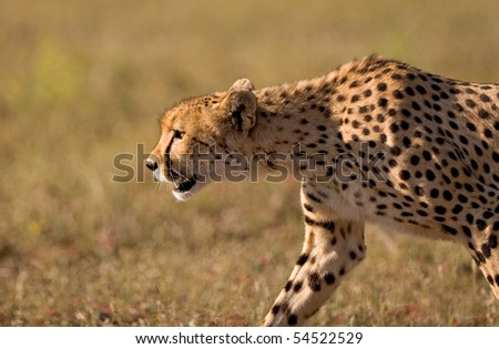 A close up of a stalking cheetah in late afternoon light