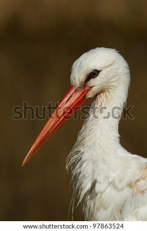 A close-up of a stork in its natural habitat