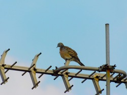 A close-up of a turtledove perched on a tv antenna
