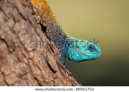 A close up of a very colorful tree agama