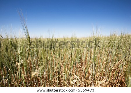 A close up of a wheat field against a large flat horizon